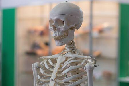 Modell des menschlichen Skeletts als medizinisches Werkzeug