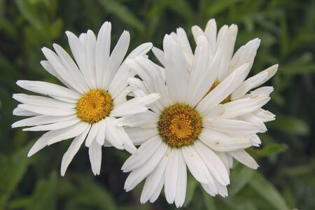 Beautiful white asters in a garden close up. Flowers
