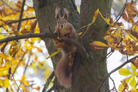 Curious red squirrel sits on a tree among the yellow leaves. Animals