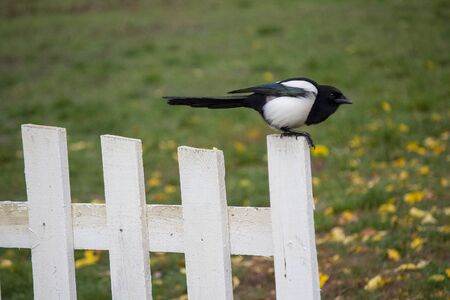Black and white magpie on the rustic fence. Birds Stok Fotoğraf