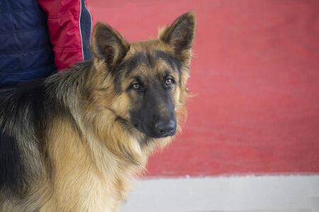 Young german shepherd dog at the dog show. Pets Stockfoto