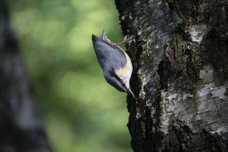 Nuthatch extracts food sitting on the tree. Birds