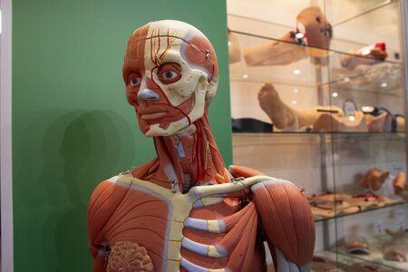 Anatomical model of a human body close-up. Medicine