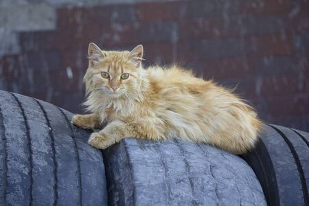 Homeless red cat lying on the tires. Animals