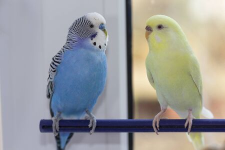 Two domestic wavy parrots sit on a branch. Birds
