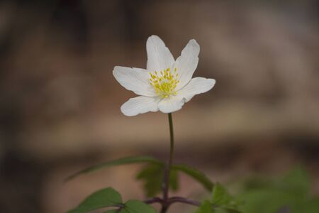 Wood anemone (Anemone nemorosa) in shady wood, early spring flower in buttercup family Ranunculaceae 免版税图像