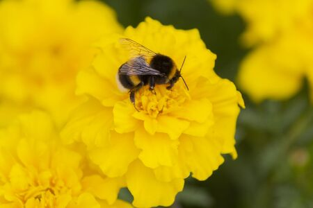 Bumblebee pollinates a yellow flower on the lawn. Nature