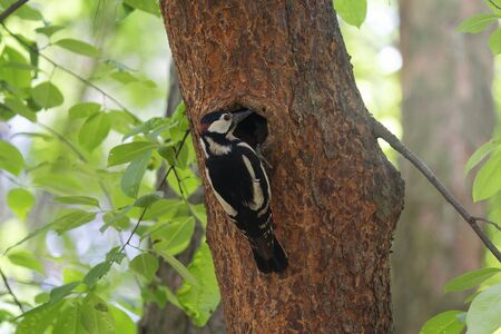 Woodpecker perching beside its hole nest on the tree home. Birds