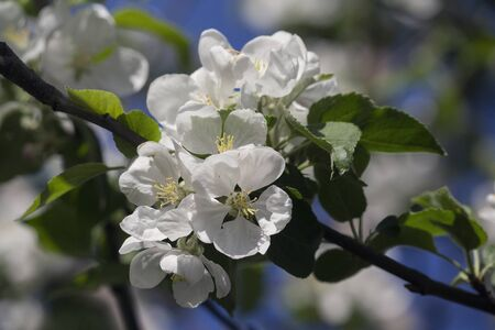 Bright white an apple-tree flower illuminated by a bright ray of the spring sun. Nature Imagens