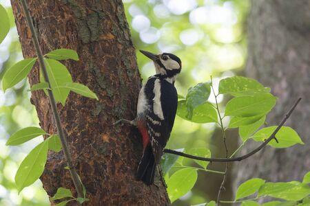 Great woodpecker is sitting on a tree bole. Birds