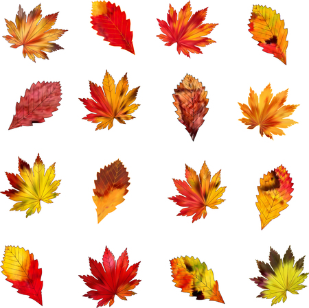 dry leaf: A set of colorful autumn leaves on a white background. Vector pattern.