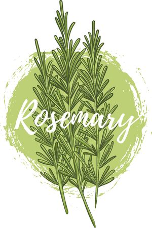 Fresh rosemary herb, natural and delicious food Çizim