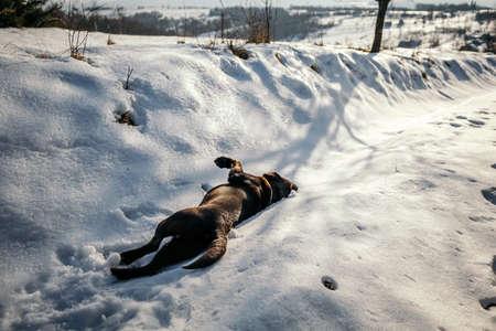 A dog lying on the snow a Labrador