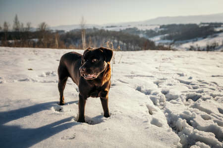 A dog standing in the snow a Labrador