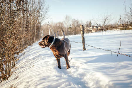 A dog that is covered in snow a Labrador