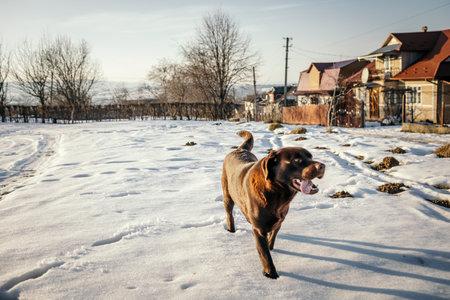 A dog walking in the snow a Labrador