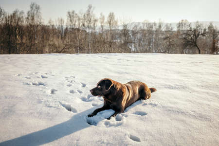 A dog lying on top of a snow covered field a Labrador
