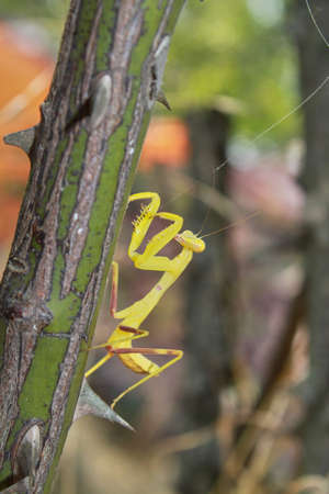 Yellow mantis clamber up the branch Stock Photo