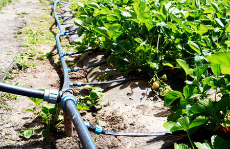 Drip irrigation system on strawberry filed in farm, close up. Strawberry bushes with green leaves growing in garden, copy space. Natural background. Agriculture, healthy food concept Archivio Fotografico