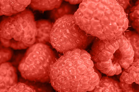 Living Coral background with fresh organic raspberries, copy space. Color of the year 2019. Nature berry background. Macro photo. Top view, flat lay