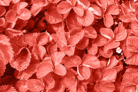 Living Coral background made of fresh strawberry leaves, copy space. Color of the year 2019. Natural background. Flat lay, top view