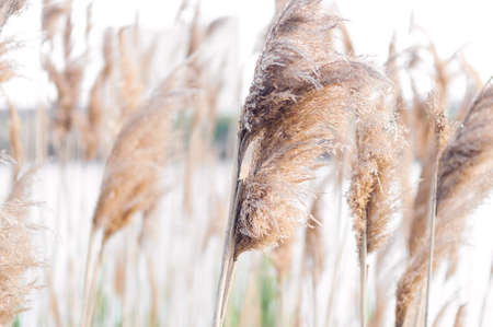 wetland conservation: Dry reeds waving in the wind. Dry reeds. Stock Photo