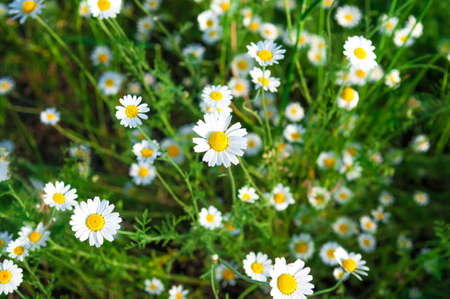 daisy flowers: Daisies. Small daisies on a green meadow. Selective focus. Stock Photo