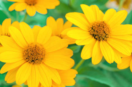 daisy: Yellow daisies. Yellow daisies on a green, blurred background. Selective focus on the center of the flower. Flover. Stock Photo