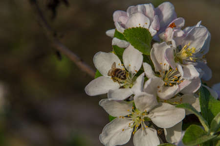 A bee pollinating an Apple tree. Zaporizhia region, Ukraine. April 2017