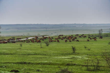 Grazing herd of cows in a meadow near the town of Gukovo. Russian Federation. May 2009 Stock Photo