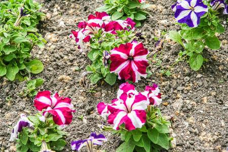 Flowers on the flower beds on the embankment of Nakhimov in the city of Sevastopol.