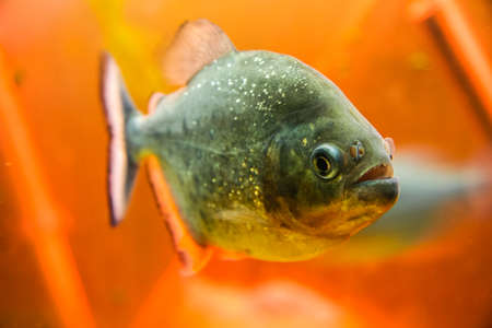 predatory piranha fish. Aquarium on the embankment of Nakhimov in the city of Sevastopol. Crimea, Ukraine