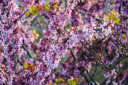 wild flower in National reserve Chersonese Taurian (the ancient city of Chersonese (Korsun)) in the city of Sevastopol. Crimea, Ukraine. Stock Photo