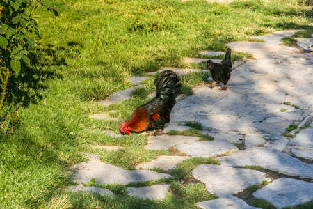 Rooster and chicken breed New Hampshire in the vastness of Kemer. Turkey. July 2009