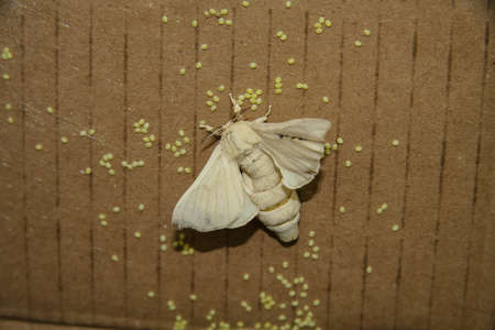 Silkworm (Bombyx mori) - a butterfly from the family of real silkworms, which plays an important economic role in the production of silk. Denizli, Turkey. July 2009