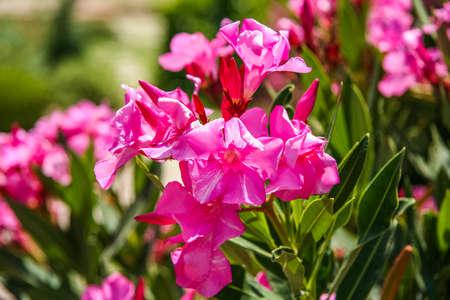 Oleander (Latin Nеrium) a beautiful but poisonous plant. Pamukkale, Turkey.