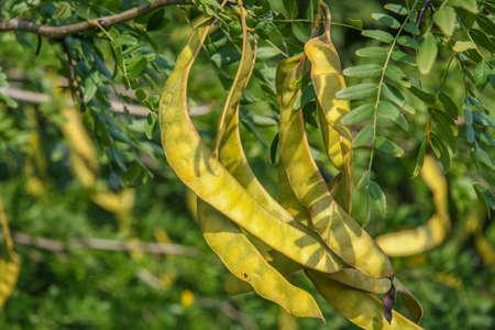 Gledicia three-lobed, or Gledicia vulgaris (Latin Gleditsia triacanthos) - a species of trees from the genus Gleditsia (Gleditsia) family of legumes (Fabaceae). Stock Photo