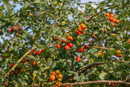 Rosehip (Lat. Rosa) - genus of plants of the Rosaceae family of order Rosaceae. This family was named and the family, and the order to which it refers. It has many cultural forms, bred under the name Rose.