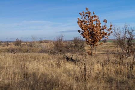 Una giovane quercia con foglie secche ma non secche. Regione di Zaporozhye, Ucraina. Gennaio 2018 Archivio Fotografico - 93130741