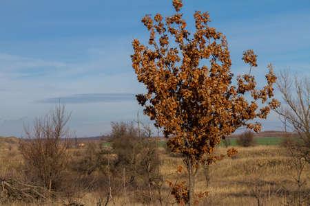 Una giovane quercia con foglie secche ma non secche. Regione di Zaporozhye, Ucraina. Gennaio 2018 Archivio Fotografico - 93017892