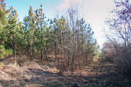 Coniferous and deciduous (mixed) field shelter in the Taurian steppe. Zaporozhye region, Ukraine. November 2010