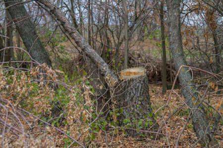 the barbarous destruction of shelter forests in the Ukrainian steppe. Zaporozhye region, Ukraine.
