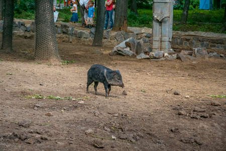 A wild boar cub is walking in the aviary of the zoo. Kharkov, Ukraine. June 2012