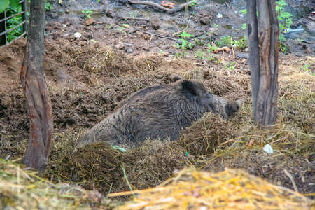 Wild boar resting in the aviary of the zoo. Kharkov city, Ukraine. June 2012