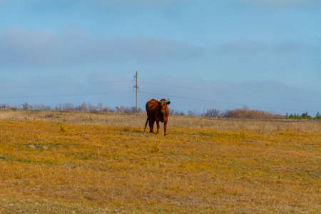 A lonely cow grazes in an autumn meadow. Zaporizhzhya region, Ukraine. November 2019 Фото со стока