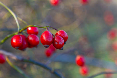 Rose hips in the autumn forest. Zaporizhzhya region, Ukraine. November 2019