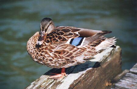 a duck Reklamní fotografie