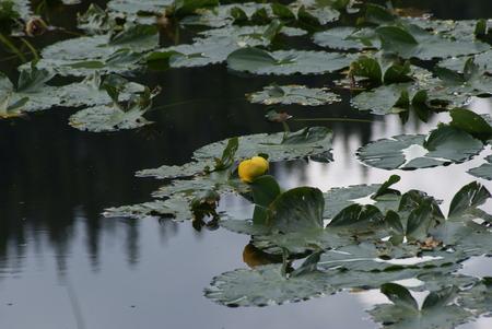 waterlillies: Nymph Lake, Rocky Mountains National Park, Colorado