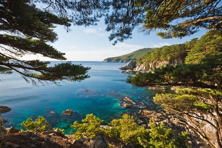 cedar tree: beautiful nature of the Primorsky Territory, Vladivostok, Russia