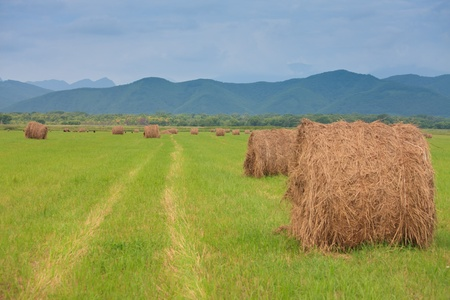 haycock: neat haystacks on the background field and the nature Stock Photo